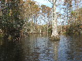 Cypress trees on Northwest River (Kayak Virginia Beach Images © Paul Perusse)