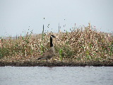 Canada Goose (Kayak Virginia Beach Images © Paul Perusse)