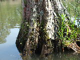 Various small plants on trunk of cypress tree (Kayak Virginia Beach Images © Paul Perusse)