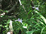Wild Iris on on Smiths Creek, Chesapeake (Kayak Virginia Beach Images © Paul Perusse)