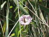 Butterfly in Hedge Bindweed in Back Bay NWR (Kayak Virginia Beach Images © Paul Perusse)