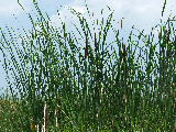Cattails in Back Bay NWR (Kayak Virginia Beach Images © Paul Perusse)