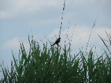 Redwinged blackbird (Kayak Virginia Beach Images © Paul Perusse)