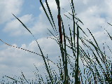 Cattail in Back Bay NWR (Kayak Virginia Beach Images © Paul Perusse)