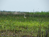 Great Egret fishing (Kayak Virginia Beach Images © Paul Perusse)