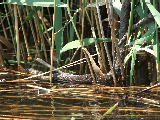 Watersnake hunting or sunning (Kayak Virginia Beach Images © Paul Perusse)