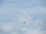Eagle Soaring (Kayak Virginia Beach Images © Paul Perusse)