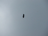 Eagle circling above (Kayak Virginia Beach Images © Paul Perusse)