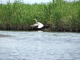 Great Egret departs (Kayak Virginia Beach Images © Paul Perusse)