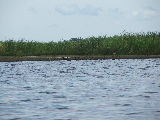 A flock of Ducks (Kayak Virginia Beach Images © Paul Perusse)