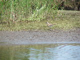 Plover on the banks at Mackay Island NWR (Kayak Virginia Beach Images © Paul Perusse)