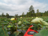 Lotus Jungle (Kayak Virginia Beach Images © Paul Perusse)